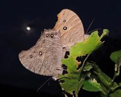 沖縄蝶類生態図鑑/ウスイロコノマチョウ
